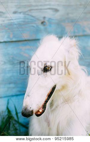 Dog Russian Borzoi Wolfhound Close Up