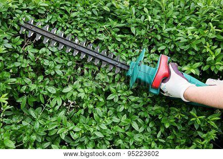 Trimming garden hedge
