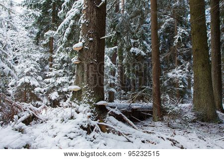 Winter Landscape Of Old Coniferous Stand Of Bialowieza Fores