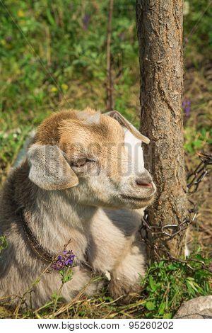 Funny goat puts.