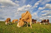 Cows on a summer pasture in a rural landscape under cloud poster