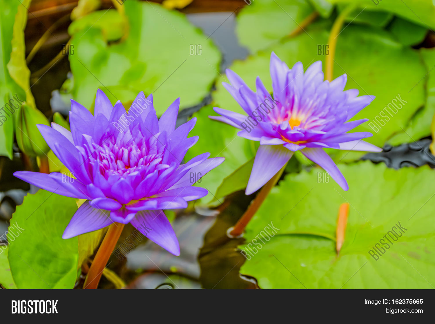 Water Lilies Among Image Photo Free Trial Bigstock