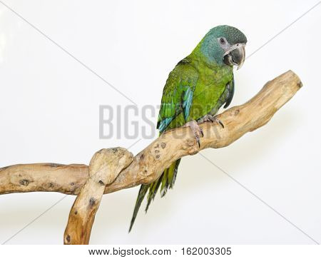 Colorful parrot landed on branch isolated on white Blue-headed macaw