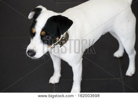 Cute Jack Russell Terrier Dog with Beautiful Face Markings on Mask Black and white floppy ears standing at attention looking ahead with room for copy