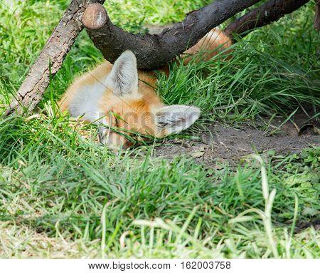 Orange fox lies in the green grass in the daytime
