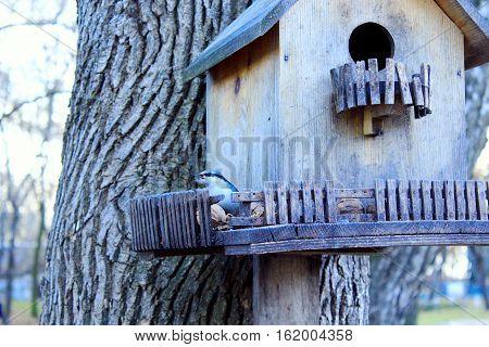 nuthatch on the feeding-rack like a small house seeks the birdseed