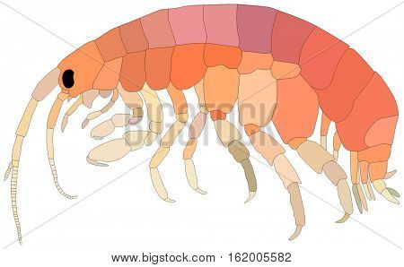Amphipods lives is ocean and under deep blue water life one of sea filterers