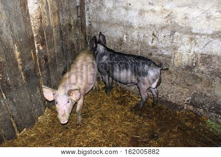 two pigs pink and black in the cattle-shed on the farm
