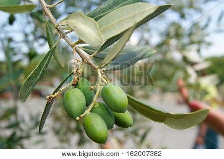 Growing Green Olives