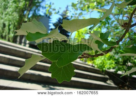 Young Leaves Of Poplar