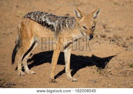 Wild Blacj Backed Jackal in arid land in South Africa