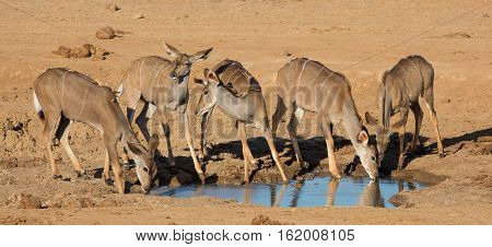 Group of young impala antelope in Africa drinking at a water hole
