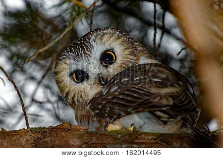 A Northern Saw-whet Owl sits in an evergreen tree. These tiny owls can be found in Iowa during the winter months.