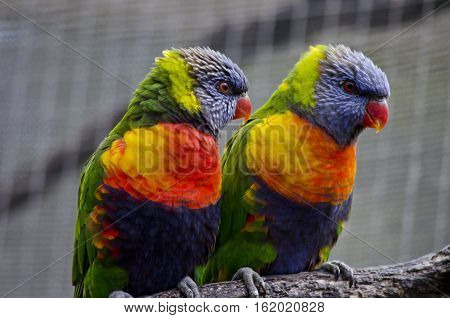 this is a close up of two rainbow lorikeet