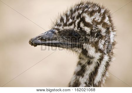 this is a close up of a emu chick