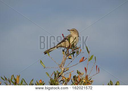 Mocking bird posing for the Audubon Society calendar