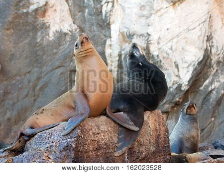 California Sea Lion couple at seal colony in Cabo San Lucas