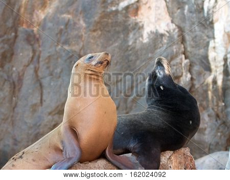 California Sea Lion couple on La Lobera [