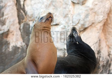 Two California Sea Lions on La Lobera [