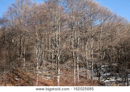 Mountain beech forest defoliated in clear sunny winter day
