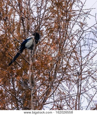 Magpie roosting in the branches of a large tree with fall colored leaves