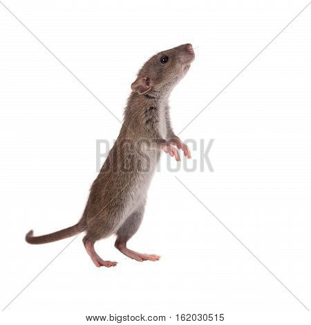 curious baby rat stands on hind paws