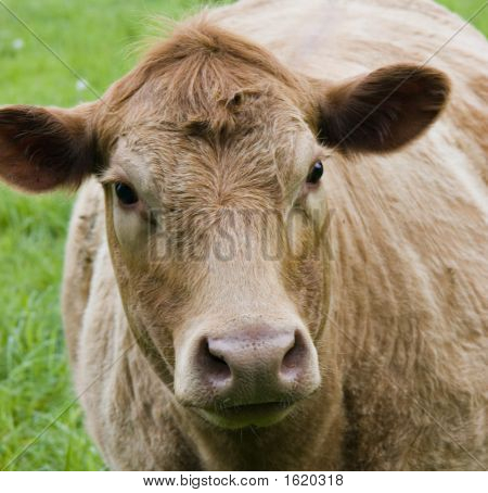 Cow Face Closeup Cropped Tight