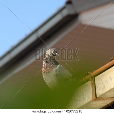 picture of a pigeon sitting above the gutter of a house.