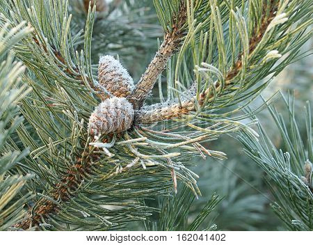 Frost, cone, needle. Lodz, Poland - December 17, 2016 Frosted pine twigs, needles and pine cone in the forest on the outskirts of Lodz.