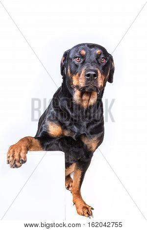 Dog Sitting Behind Sign Isolated On White Background