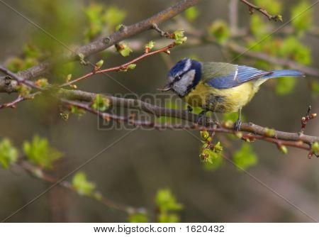 Ageing Blue Tit