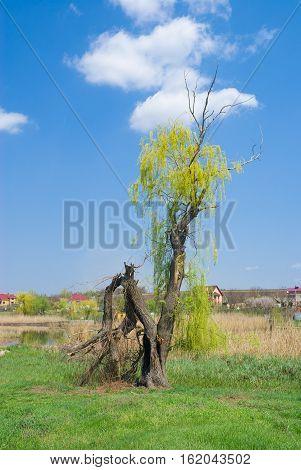 SpringLandscape with broken willow tree near small river Sura central Ukraine