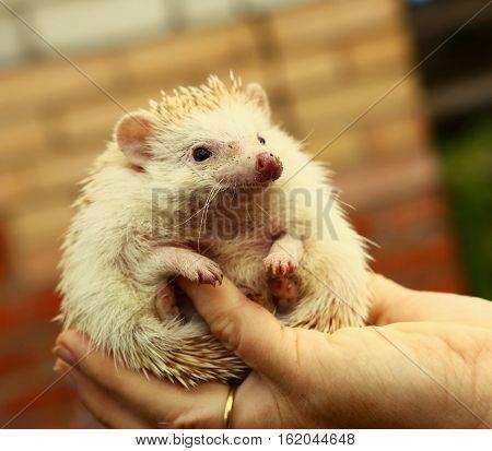 dwarf hedgehog in human hand close up photo