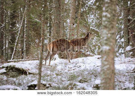 Big and beautiful red deer female during the deer rut in the nature habitat in Czech Republic european animals deer rut deer-park south bohemia sumava