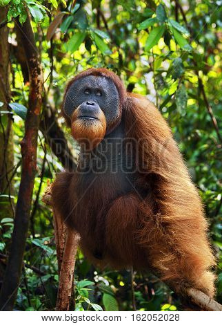 Dominant male orangutan in the jungle of Gunung Leuser National Park Sumatra.