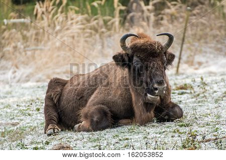 Portrait of a Wisent in a wildpark