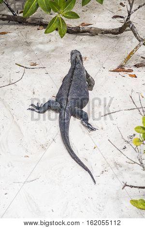 Marine Iguana At The Beach
