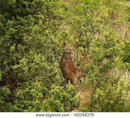 Red Deer Standing in The Dense Thicket