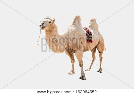 Bactrian camel close-up on a white background (Camelus bactrianus)