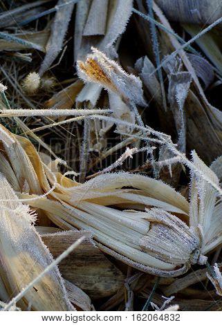 Frosty corn husks in rural farm field