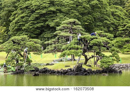 TOKYO, JAPAN - OCTOBER 3, 2016: Unidentified people doing pruning of pine trees at Hamarikyu Gardens in Tokyo. It is a public park opened April 1 1946.