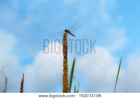 dragonfly on Typha Angustifolia and soft white clouds against blue sky background.