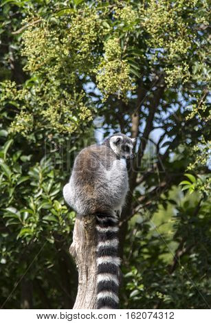 TOKYO, JAPAN - OCTOBER 12, 2016: Ring tail lemur at Ueno zoo in Tokyo Japan. It is Japan oldest zoo opened on March 20 1882