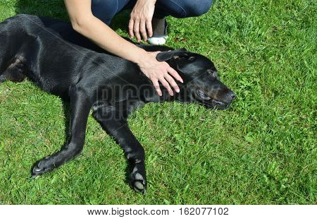 Adorable black dog lying on a green grass with woman's hand which cuddling his neck