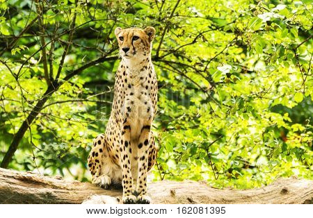 Portrait of cheetah. Acinonyx jubatus. Wild animal and wildlife.