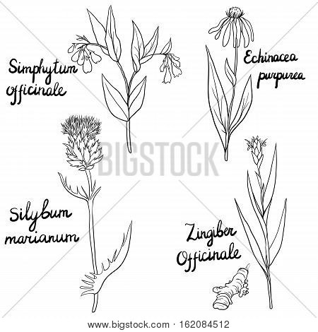 vector set of hand drawn medical herbs, Milk Thistle, Ginger plant, Comfrey and Echinacea flowers, isolated floral elements