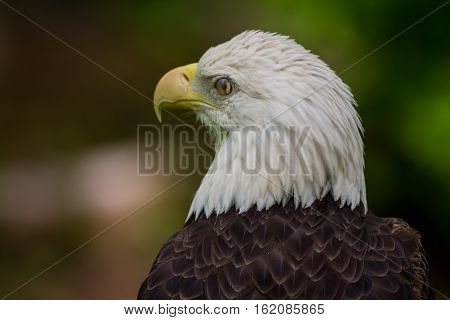 Bald Eagle Blinking Close Up with eyelid in motion