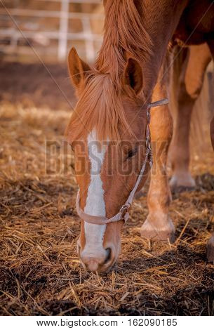 Beautiful red horse in the walking open-air cage, nice sunny day. Horse walks on a pasture. Horse eating a hay at ranch summertime. Horse chewing dry grass on blur background.