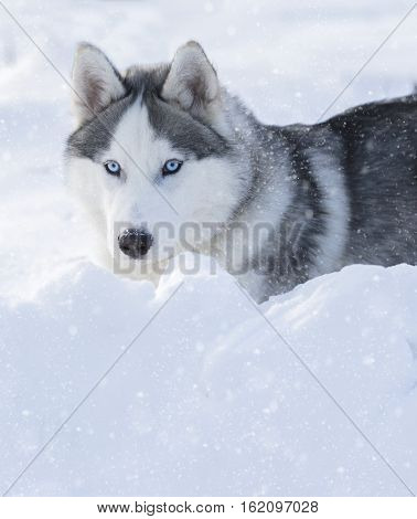 husky puppy with blue eyes lying on the snow