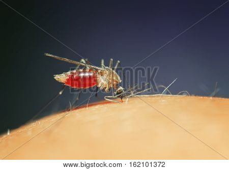 nasty insect mosquito sits on the skin and drink blood